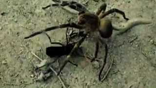 getlinkyoutube.com-Cavalo do Cão matando Aranha Armadeira