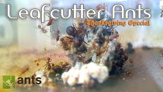 getlinkyoutube.com-OMG! Leafcutter Ants WILL BLOW YOUR MIND | Thanksgiving Special - Part 1