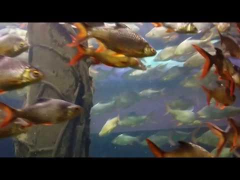 Ikan lampam Melayu