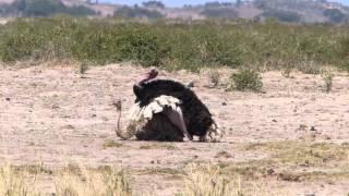 Ostrich Porn