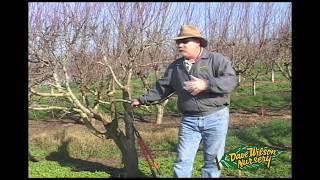 getlinkyoutube.com-How To Graft A Fruit Tree