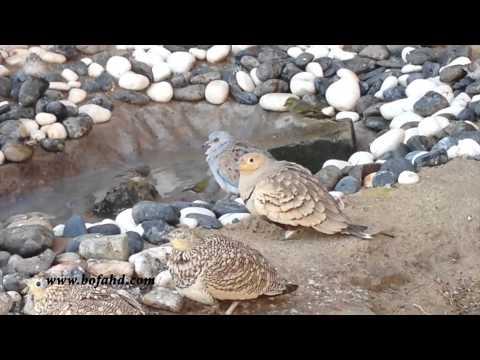 إنتاج طائر القطا في محمية بالكويت