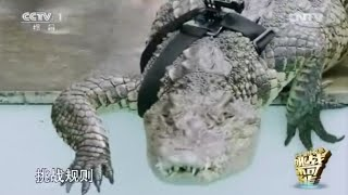 getlinkyoutube.com-#挑戰不可能 徒手抓鱷魚 還是兩隻!