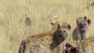 getlinkyoutube.com-Hyenas versus Lions