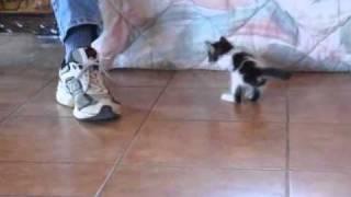 getlinkyoutube.com-Three legged kitten.wmv