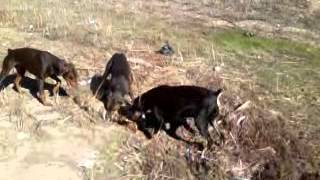 Dobermans deal with coyote