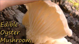 getlinkyoutube.com-How to Identify Oyster Mushrooms