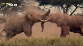 Elephant vs Elephant Deadliest Fight - Nat Geo wild