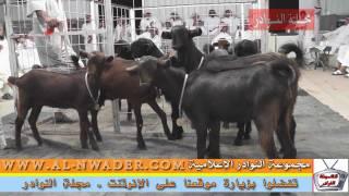 getlinkyoutube.com-أغنـام شامية حراج الدكة 1432هـ