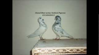 getlinkyoutube.com-chand bhai walay pigeons (kabooter)