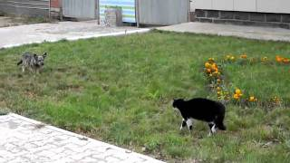 getlinkyoutube.com-هوشة كلب ضد قطوة - 3D