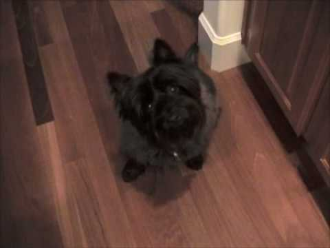 Talking Cairn Terrier