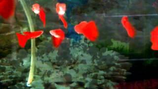 getlinkyoutube.com-Ikan Hias (Gapi Sword Tail Super Red)