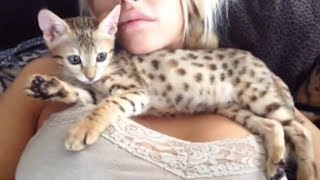 getlinkyoutube.com-MY NEW SAVANNAH KITTEN!!! SO CUTE!!