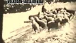 getlinkyoutube.com-كلب يقتل ذئبان عند هجومهم على قطيع اغنام
