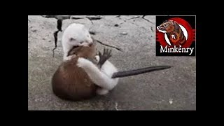 getlinkyoutube.com-INTENSE mink vs muskrat struggle