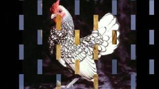 getlinkyoutube.com-أغرب دجاج في العالم سبحان الله.wmv