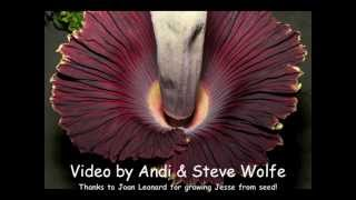 getlinkyoutube.com-Giant Corpse Flower bloom - time lapse from two views