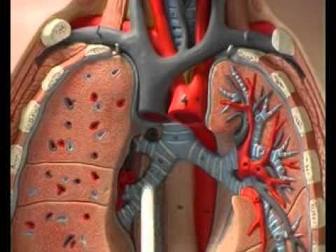 Il corpo umano (2/5) Il sistema respiratorio