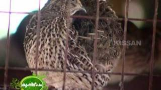 getlinkyoutube.com-Success story on quail rearing (Kada)  as a business enterprise
