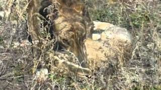 getlinkyoutube.com-Greyhound hunting. Big Brown & Huge Success. I ст. в паре.