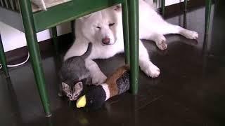 getlinkyoutube.com-イタズラ子猫を黙って見守る秋田犬・天天   kitty  japanese akita
