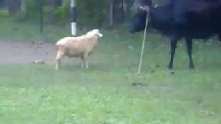getlinkyoutube.com-Sheep vs. Cow
