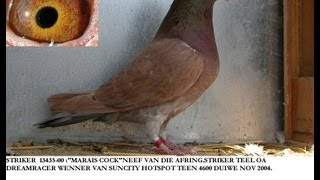 BEST RESSESIVE RED RACING PIGEONS IN THE WORLD
