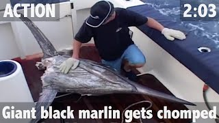 getlinkyoutube.com-GIANT BLACK MARLIN ATTACKED BY MONSTER SHARKS - ULTIMATE FISHING TV