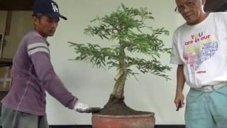 getlinkyoutube.com-Bonsai Diary: Split Trunk Tamarind Repot