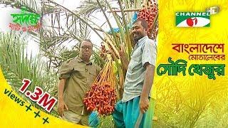 Motaleb grows Saudi dates (খেজুর) Garden in Bangladesh