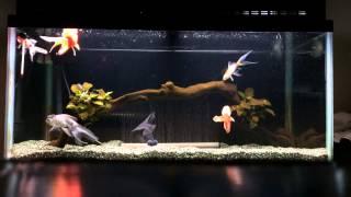 getlinkyoutube.com-金魚 90cm水槽 (2)