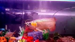 getlinkyoutube.com-ปลามังกรแดงพาฝัน กินกระทิงไฟ ชารีฟ พาฝัน2