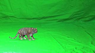 getlinkyoutube.com-Tiger- Green Screen