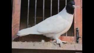 getlinkyoutube.com-الجمعية السودانية للحمام الزاجل عبدالحميد فيزوالحمام القلاب ( الشقلباظ ) الجزء  3