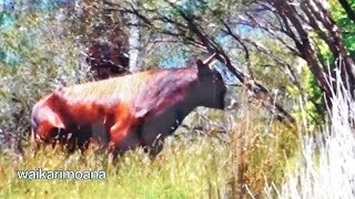getlinkyoutube.com-Hunting wild bull in New Zealand part 1(bow hunting)