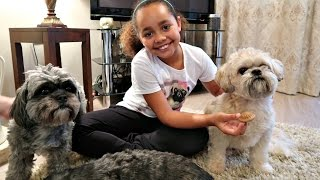 getlinkyoutube.com-I Am Getting A Shih Tzu Puppy