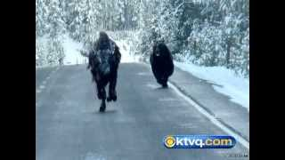 getlinkyoutube.com-Wild Photos Capture Grizzly Chasing Bison in Yellowstone National Park - BEAR VS BISON