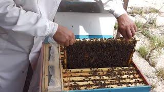 getlinkyoutube.com-1 Colectorul intern de polen e oglinda activitatii familiei de albine - Informatii rapide apicultura