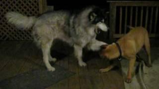 getlinkyoutube.com-120lb Bull Mastiff vs. 140lb 6'2'' Timber Wolf