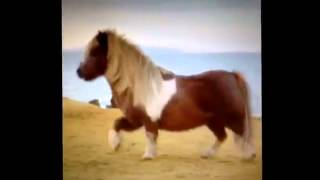 getlinkyoutube.com-short vine mini horse