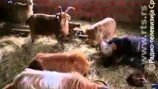 getlinkyoutube.com-Srpske autohtone rase-konji,krave,bivolice,koze,ovce