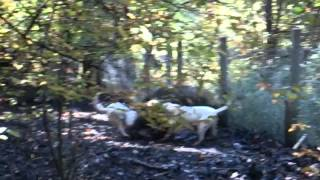 getlinkyoutube.com-dogo argentino De la Paco Cassa- hunting team