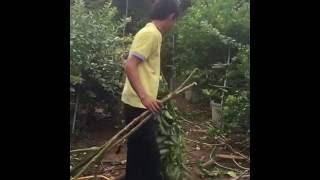 getlinkyoutube.com-ตัดลำต้นเพกา เพื่อปักชำ และให้ต้นเตี้ยลง โดยนักศึกษาฝึกงาน วิทยาลัยเกษตรและเทคโนโลยีขอนแก่น