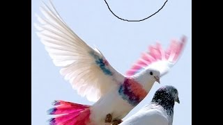 getlinkyoutube.com-Pigeon Show Homing Pigeon Races | High flying pigeon & Millionaire Pigeon Racers | Fun_Entertainment