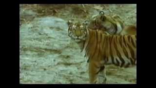 getlinkyoutube.com-Predadores Selvagens - Tigre