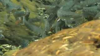 岩手のイワナ驚きの渓流