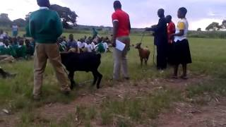 getlinkyoutube.com-Maajabu ya Mbuzi