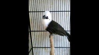Suara Ngerol Poksai Jambul Sumatra Istimewa
