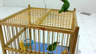 getlinkyoutube.com-Burung Cucak Hijau